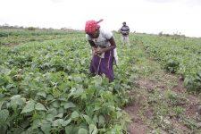 Kenya ferme Ngare Ng'iro