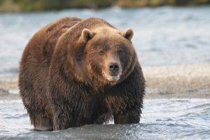 Grizzli en forme