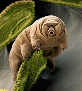 Water bear (Paramacrobiotus craterlaki) in moss. Color enhanced scanning electron micrograph (SEM) of a water bear in its active state. Water bears (or tardigrades) are tiny invertebrates that live in aquatic and semi-aquatic habitats such as lichen and damp moss. They require water to obtain oxygen by gas exchange. In dry conditions, they can enter a cryptobiotic state of desiccation, known as a tun, to survive. In this state, water bears can survive for up to a decade. P. craterlaki is a carnivorous species that feeds on nematodes and rotifers. This specimen originated from moss samples in Crater Lake, Kenya. Water bears are found throughout the world, including regions of extreme temperature, such as hot springs, and extreme pressure, such as deep underwater. They can also survive high levels of radiation and the vacuum of space. Magnification: x333 when printed 10cm wide..