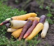 carotte-violettes-jaunes-bio_bioleyre